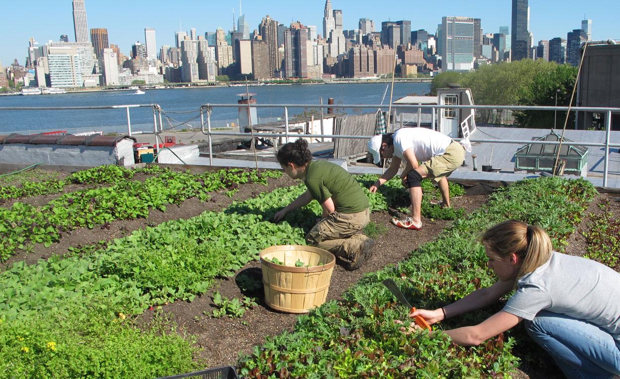 Rooftop farm New York