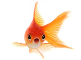 Wow-goudvis